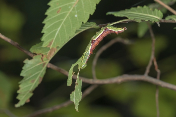Double-lined prominent 1
