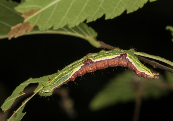 Double-lined prominent 2