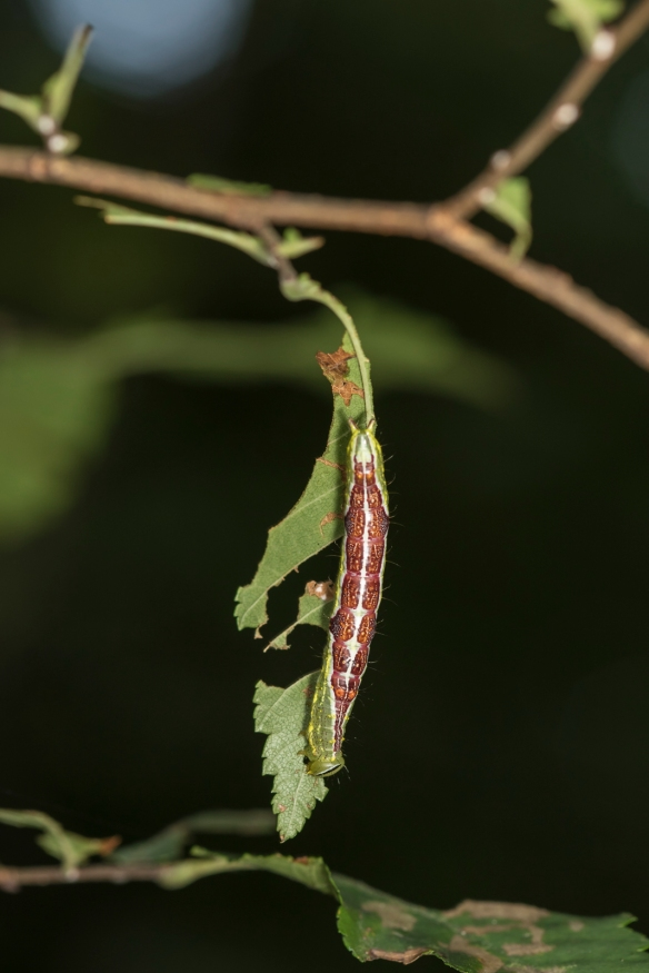 Double-lined prominent