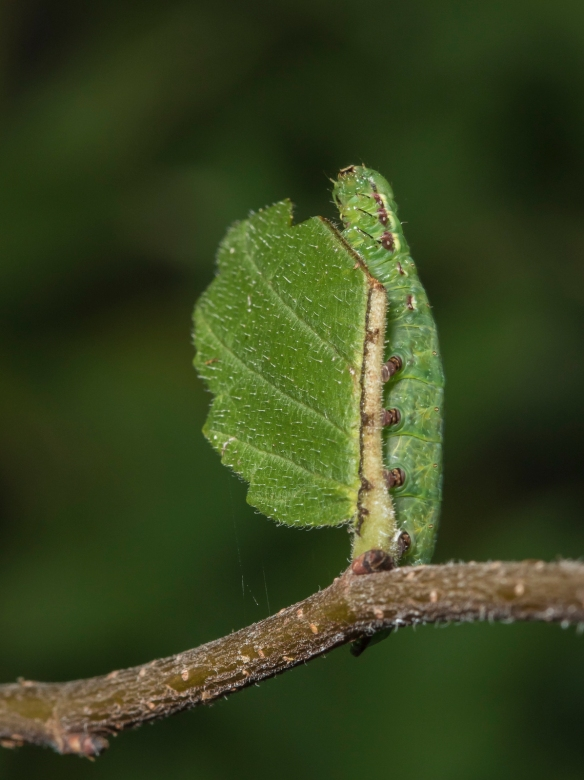 Double-toothed prominent on small leaf