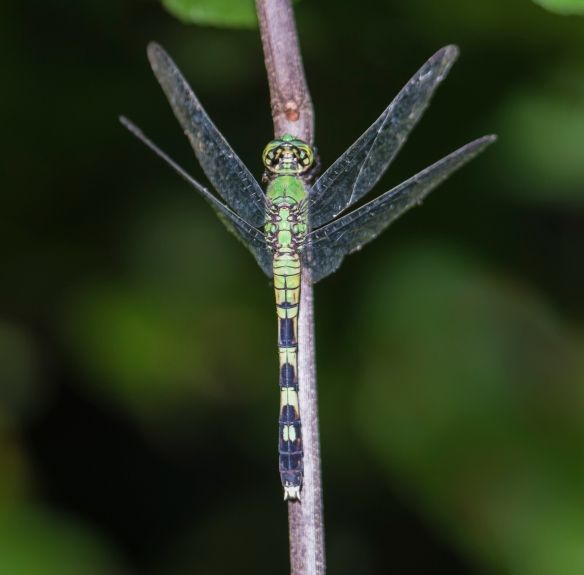 Eastern Pondhawk female vertical perch