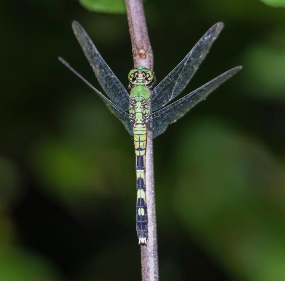 Eastern Pondhawk female vertical perch