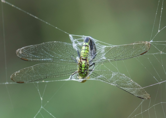 Eastern Pondhawk in web