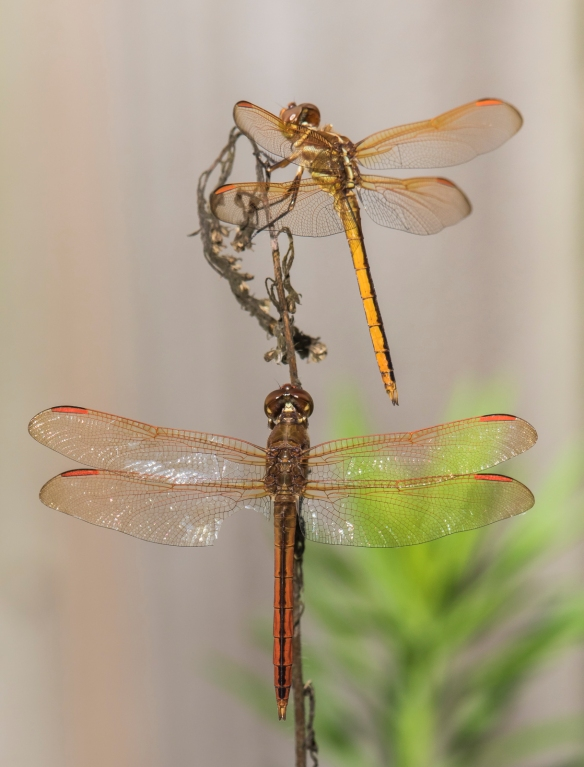 Golden-winged skimmers?