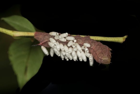 Hog sphinx with braconid wasp cocoons
