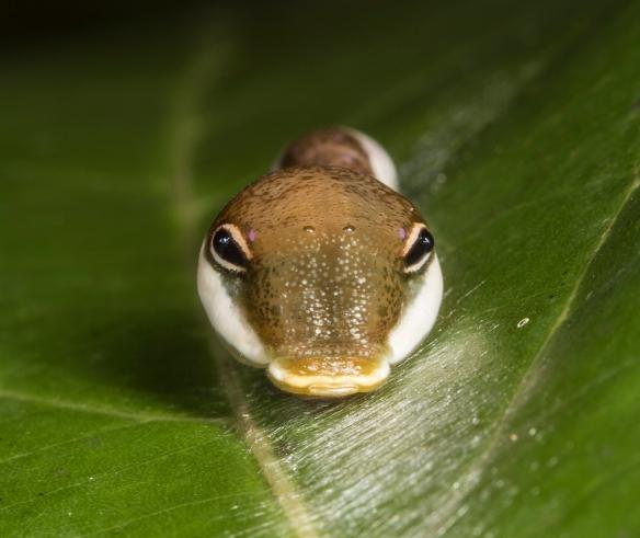Palamedes Swallowtail caterpillar head on view closer