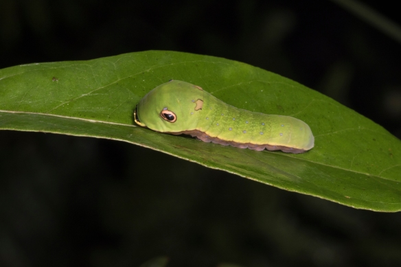 Palamedes swallowtail larvae after molt side view