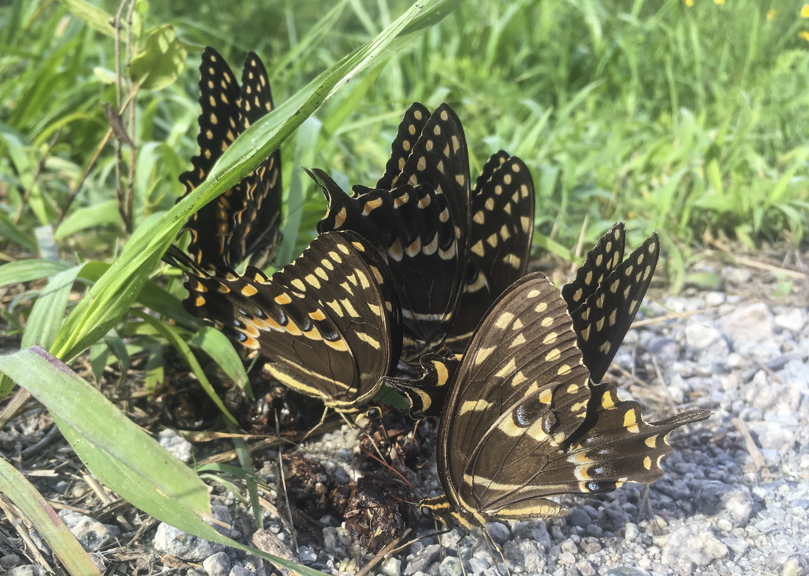 Palomedes swallowtails on scat