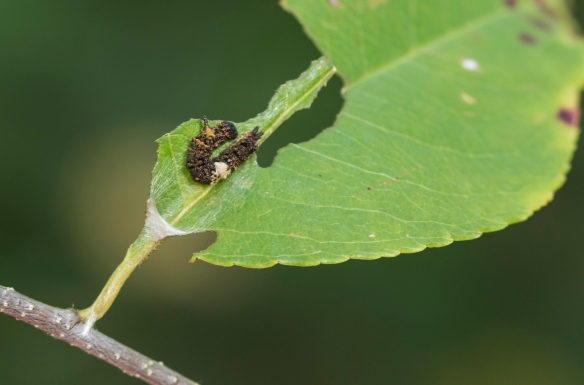 red-spotted purple early instar