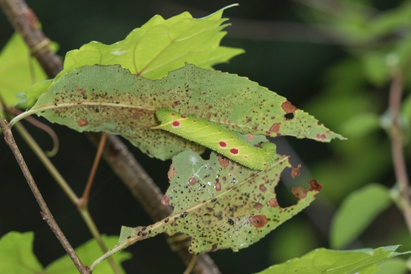 Small-eyed sphinx caterpillar on cherry wide view