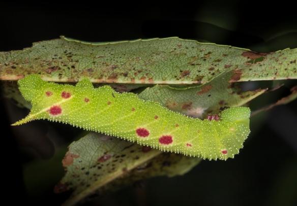 Small-eyed sphinx caterpillar on cherry
