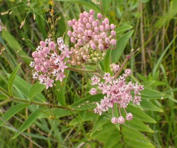 Swamp milkweed flowers