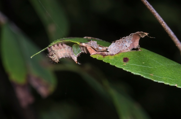 Unicorn caterpillar compared to dry edge of leaf