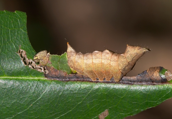 Unicorn caterpillar late instar horizontal
