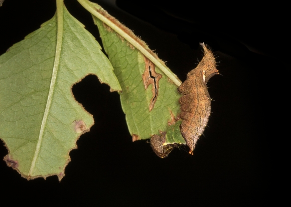 Unicorn caterpillar on cherry leaf