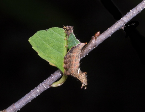 Unicorn caterpillar on small cherry leaf