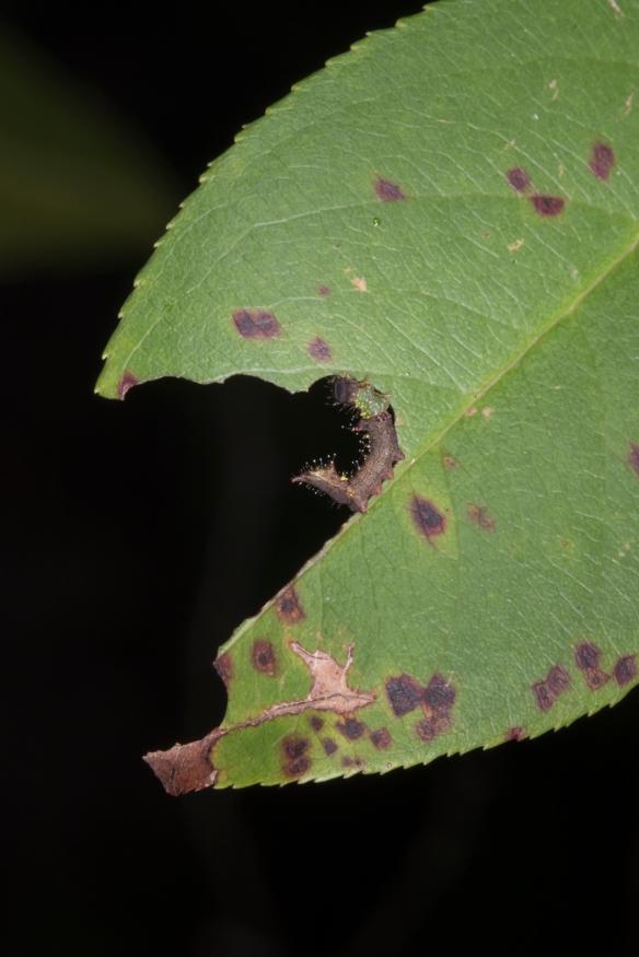 Unicorn caterpillar second instar