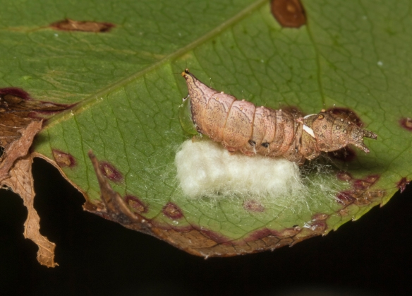Unicorn caterpillar with braconid eggs 1