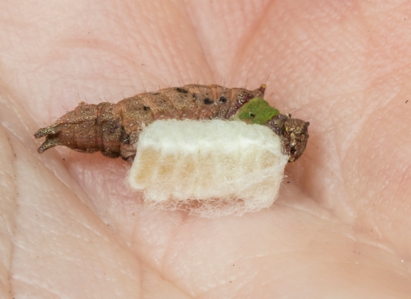 Unicorn caterpillar with braconid eggs in hand