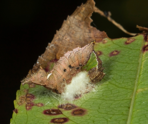 Unicorn caterpillar with braconid eggs