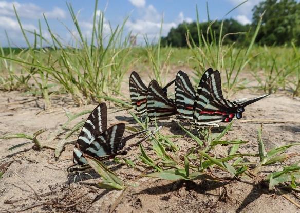 Zebra swallowtails puddling