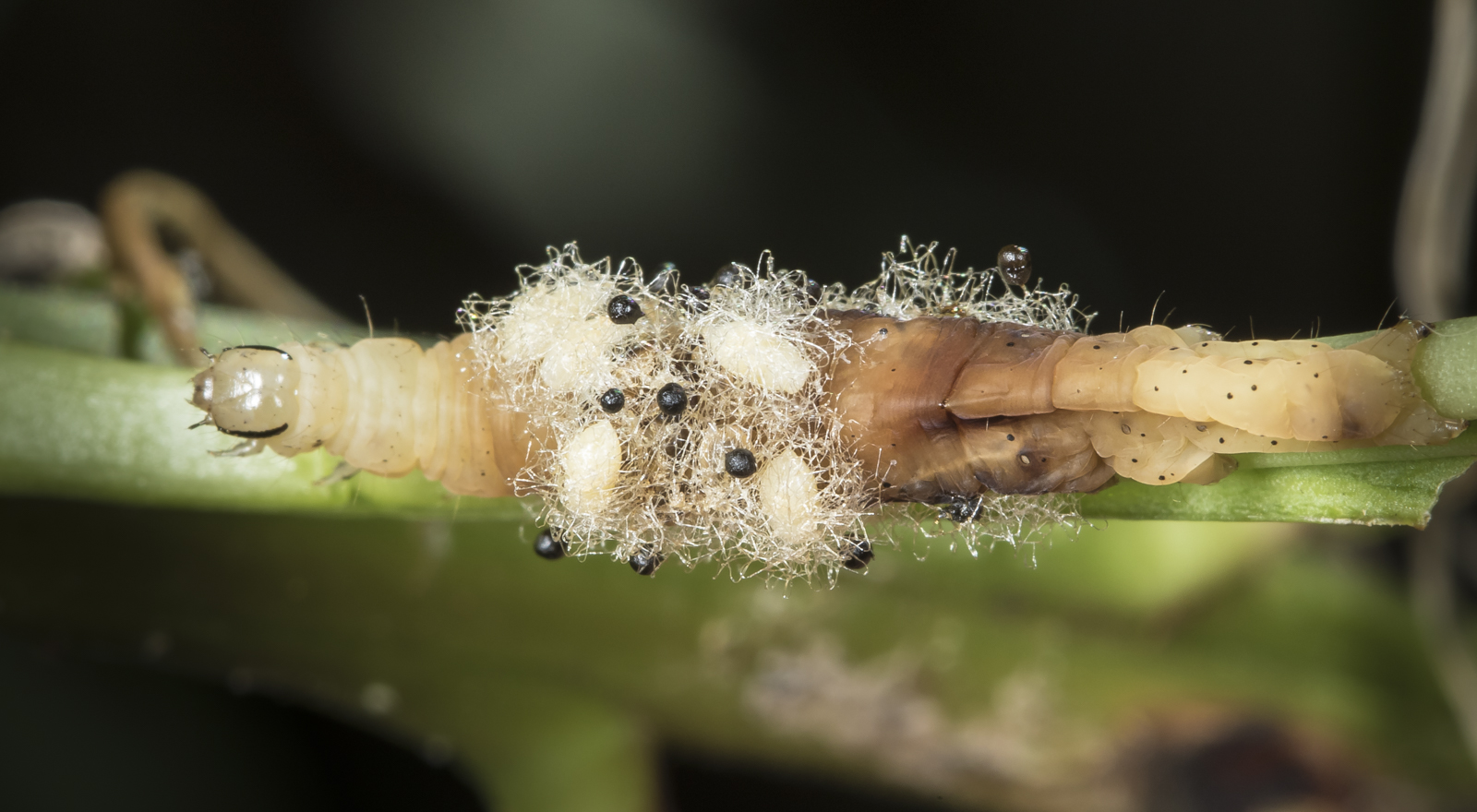 Caterpillar with Euplectrus pupae 1