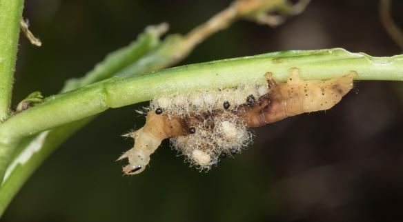 Caterpillar with Euplectrus pupae