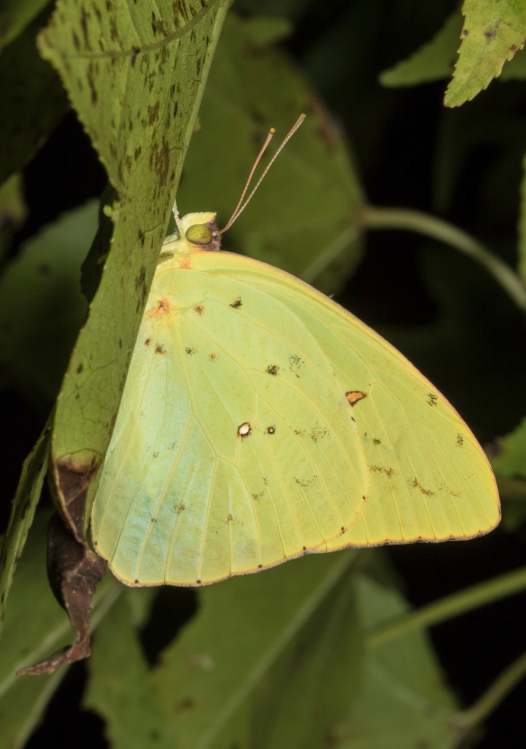 Cloudles sulphur resting under a leaf after dark