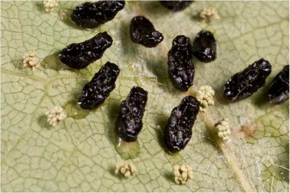 eulophid-wasp-pupae-1