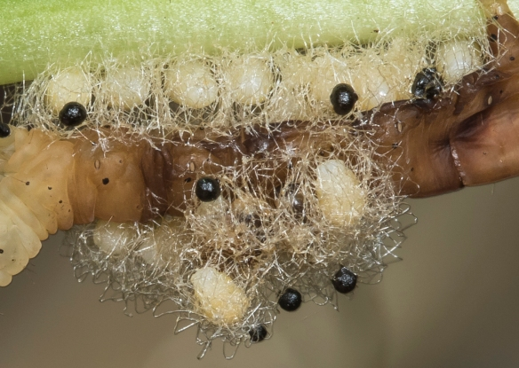 Euplectrus wasp pupae