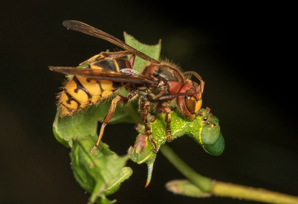 European hornet attacking caterpillar