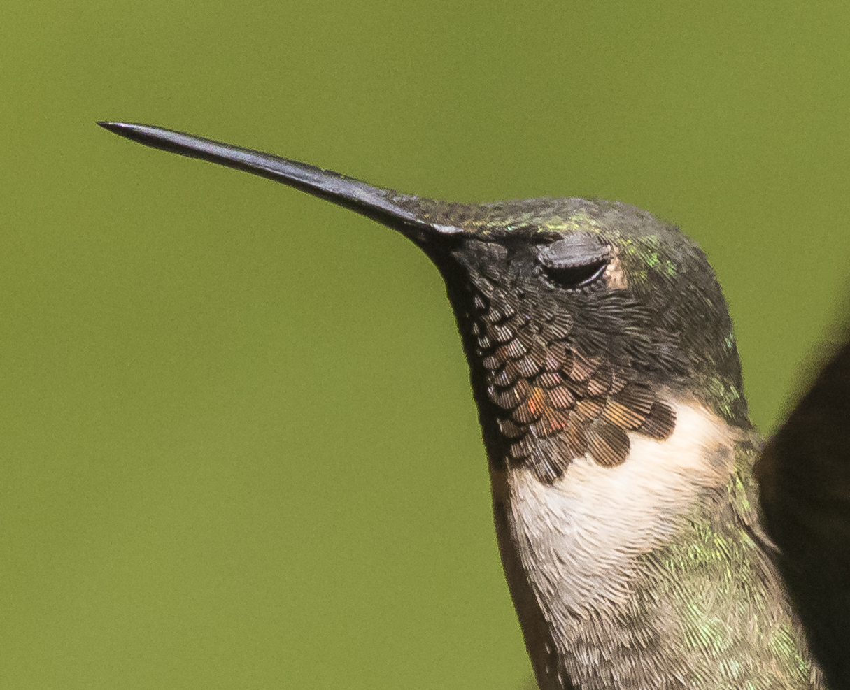 Hummingbird blinking close up
