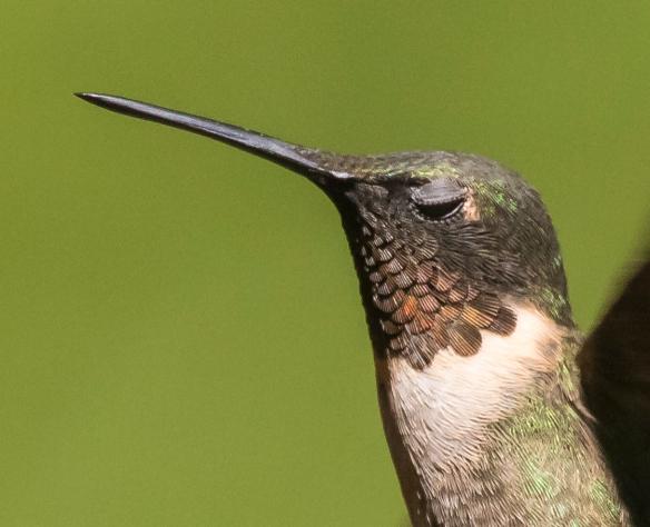 Hummingbird blinking close up