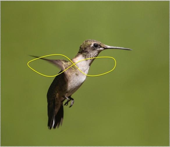 hummingbird-figure-8-wingbeat