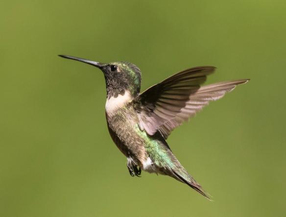 Hummingbird male with dark throat