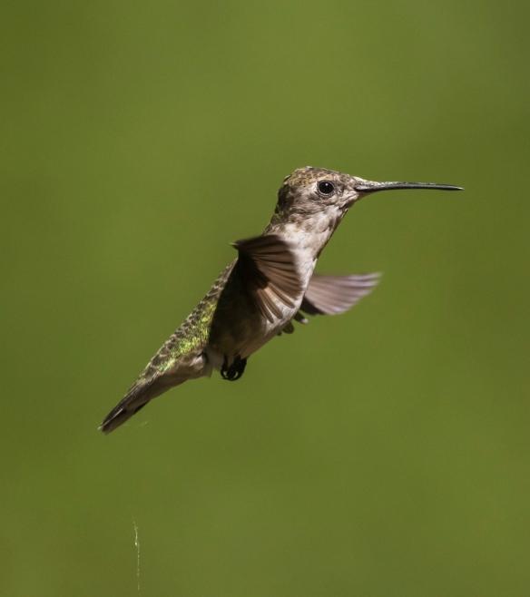 Hummingbird releasing liquid waste