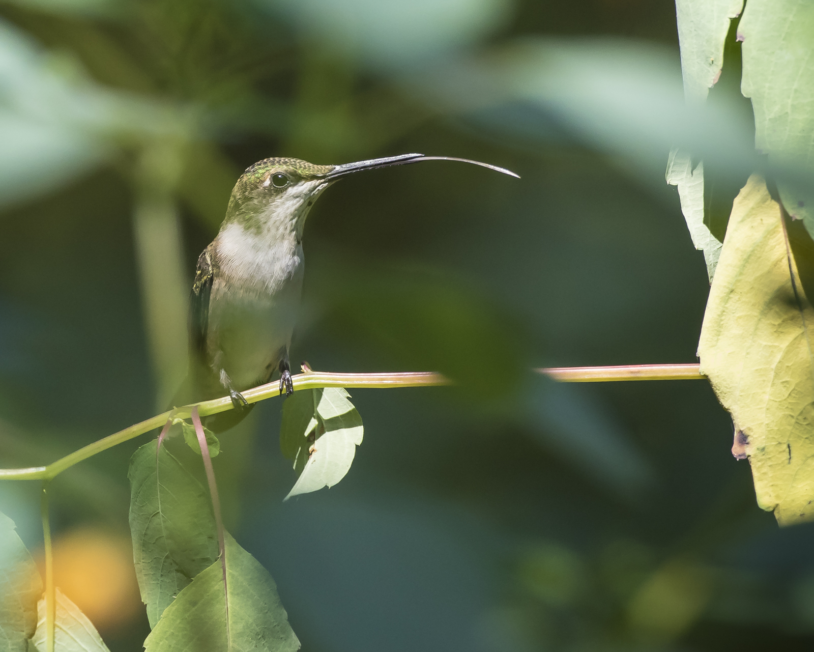 Hummingbird sticking out tongue