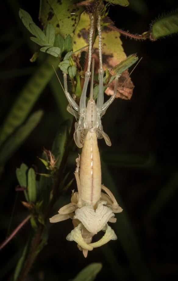 Katydid molting ventral view