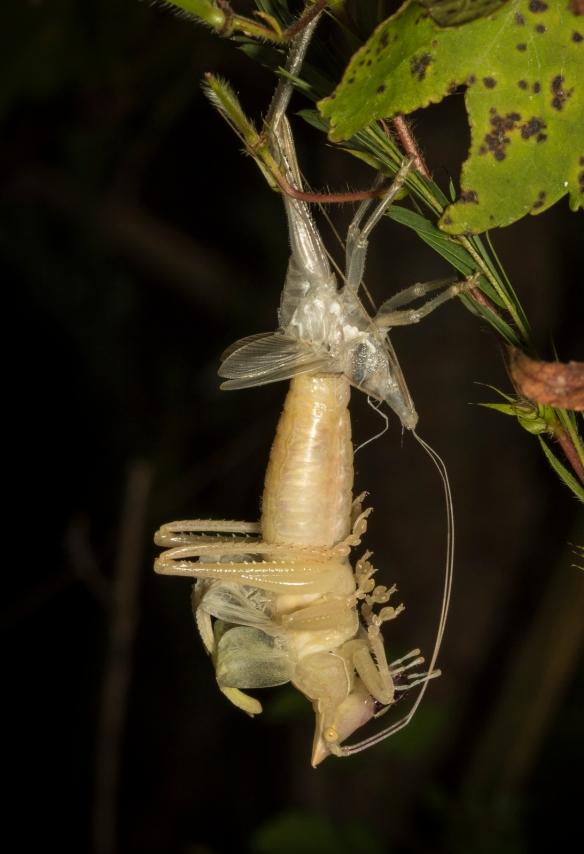 Katydid molting