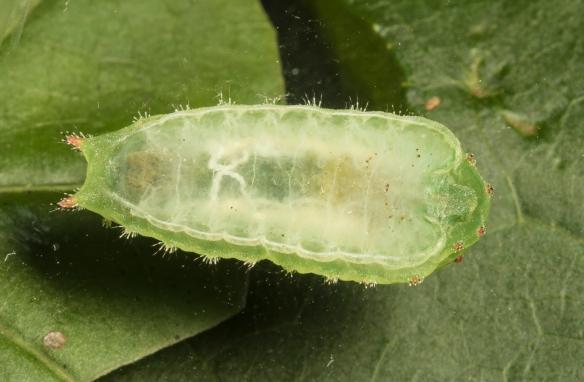 Nason's slug underside