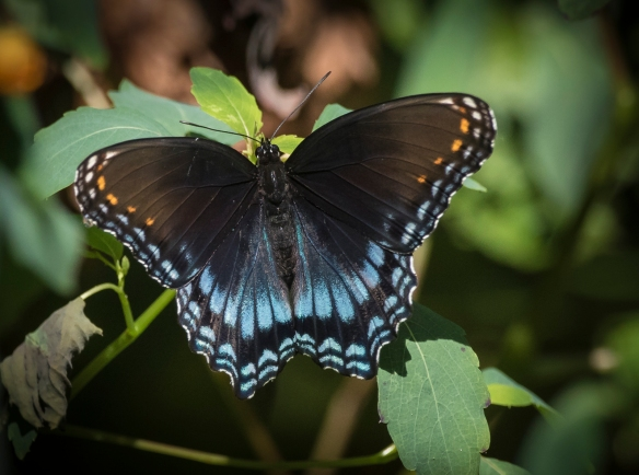 Red-spotted purple adult