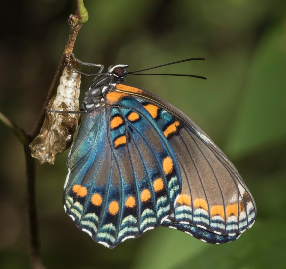 Red-spotted purple butterfly freshly emerged 1