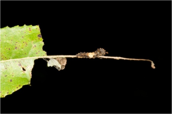 rsp-early-instar