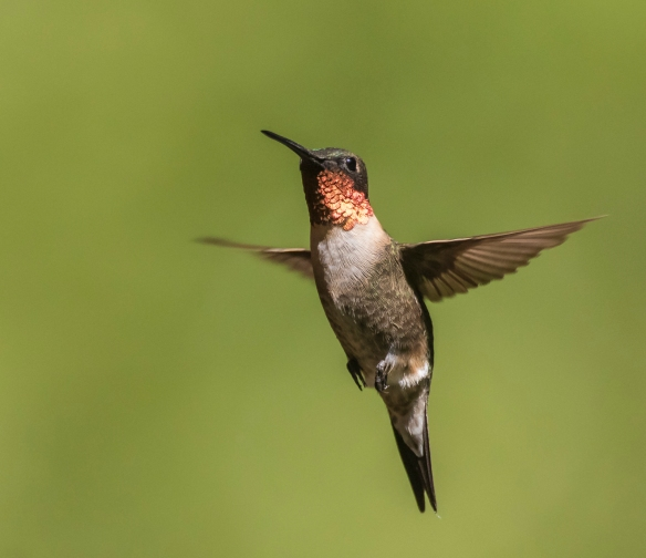 Ruby-throated hummingbird adult male