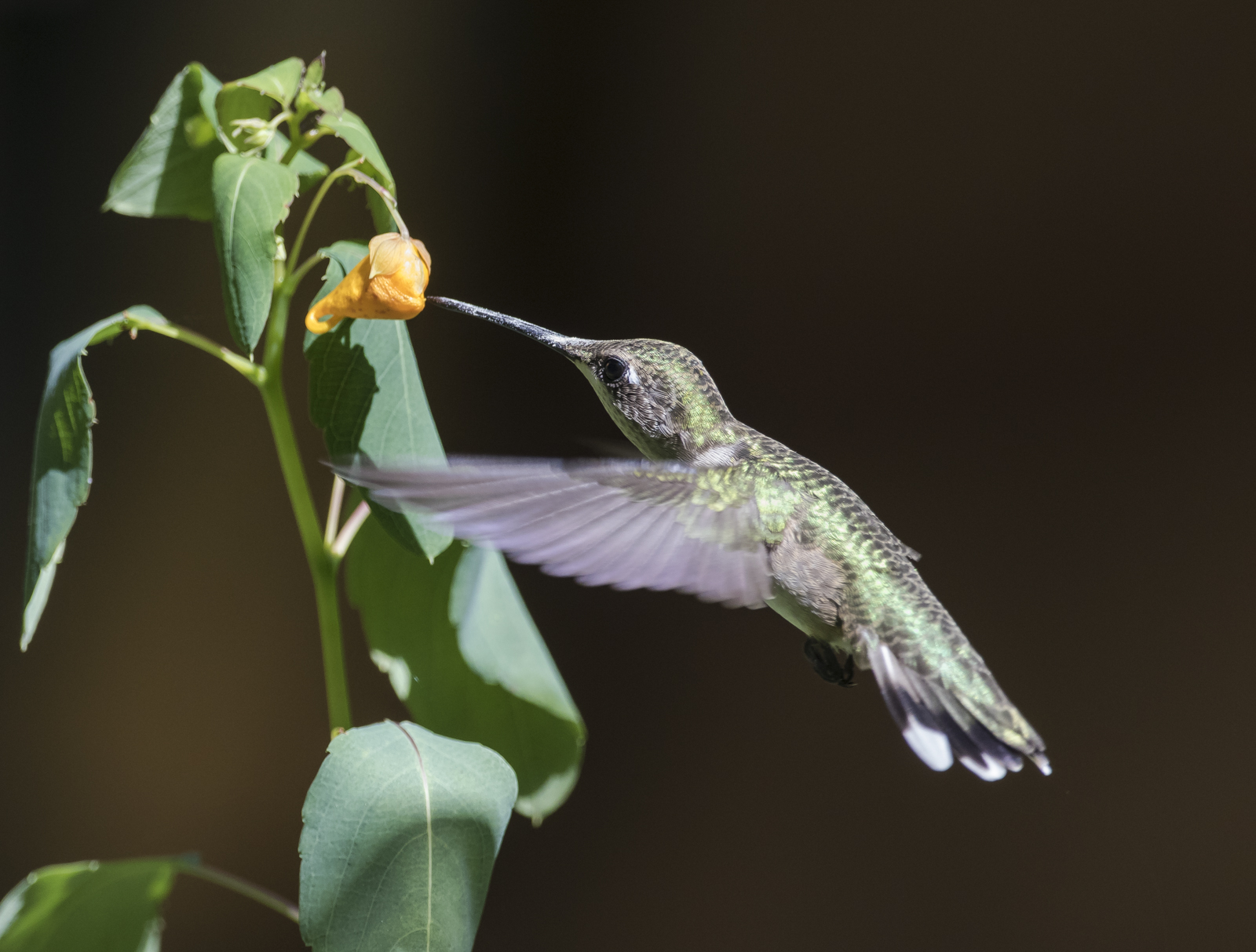 Ruby-throated hummingbird at jewelweed 2