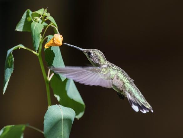 Ruby-throated hummingbird at jewelweed 2