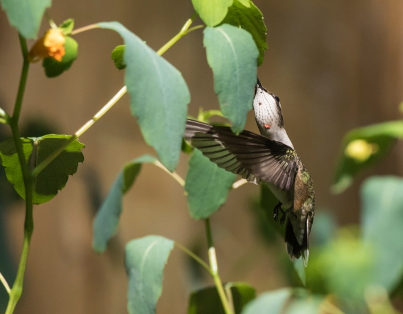 Ruby-throated hummingbird at jewelweed 3