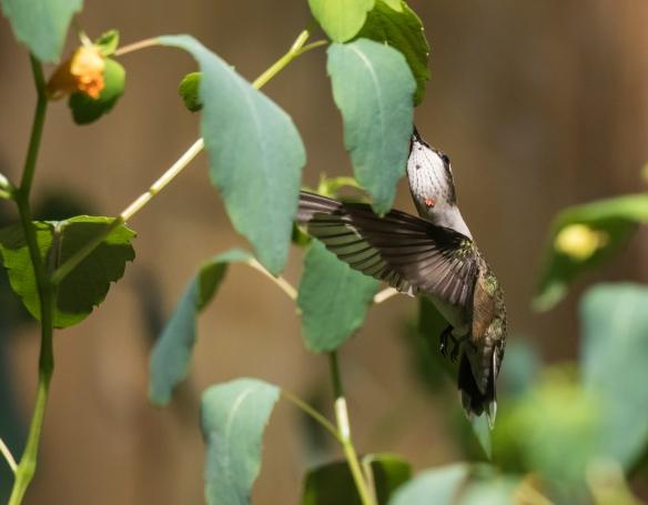 Ruby-throated hummingbird at jewelweed 3