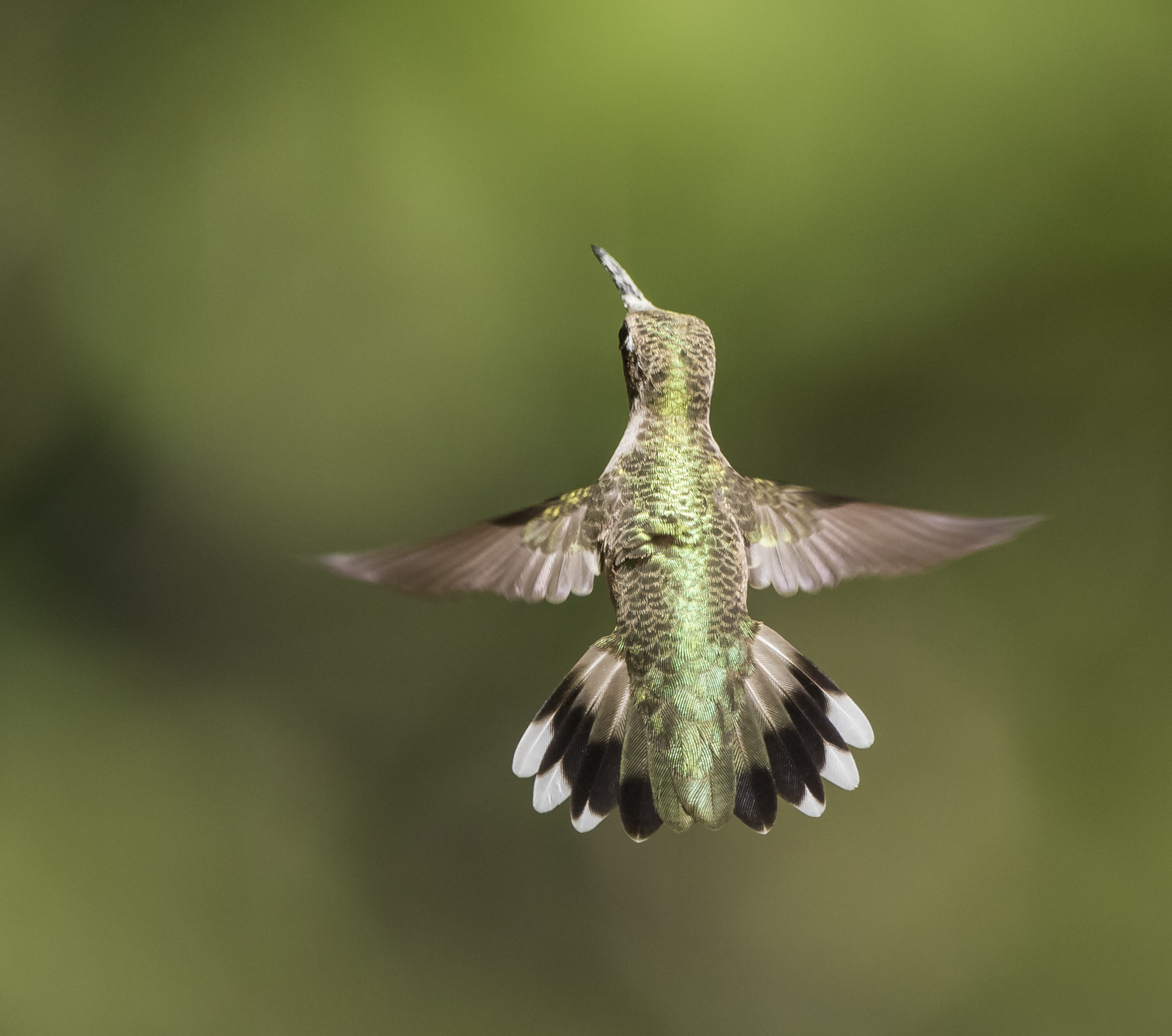 Ruby-throated hummingbird back view