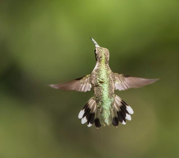 Ruby-throated hummingbird back view
